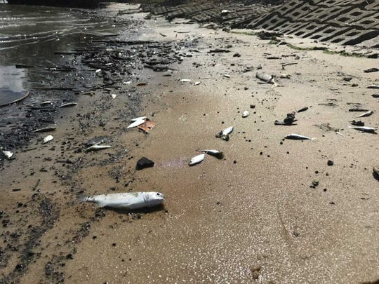 Thousands of dead fish were scattered Friday, Oct. 19, 2019, along the eastern shore of the Indian River Lagoon near Midway Road and Indian River Drive in St. Lucie County.