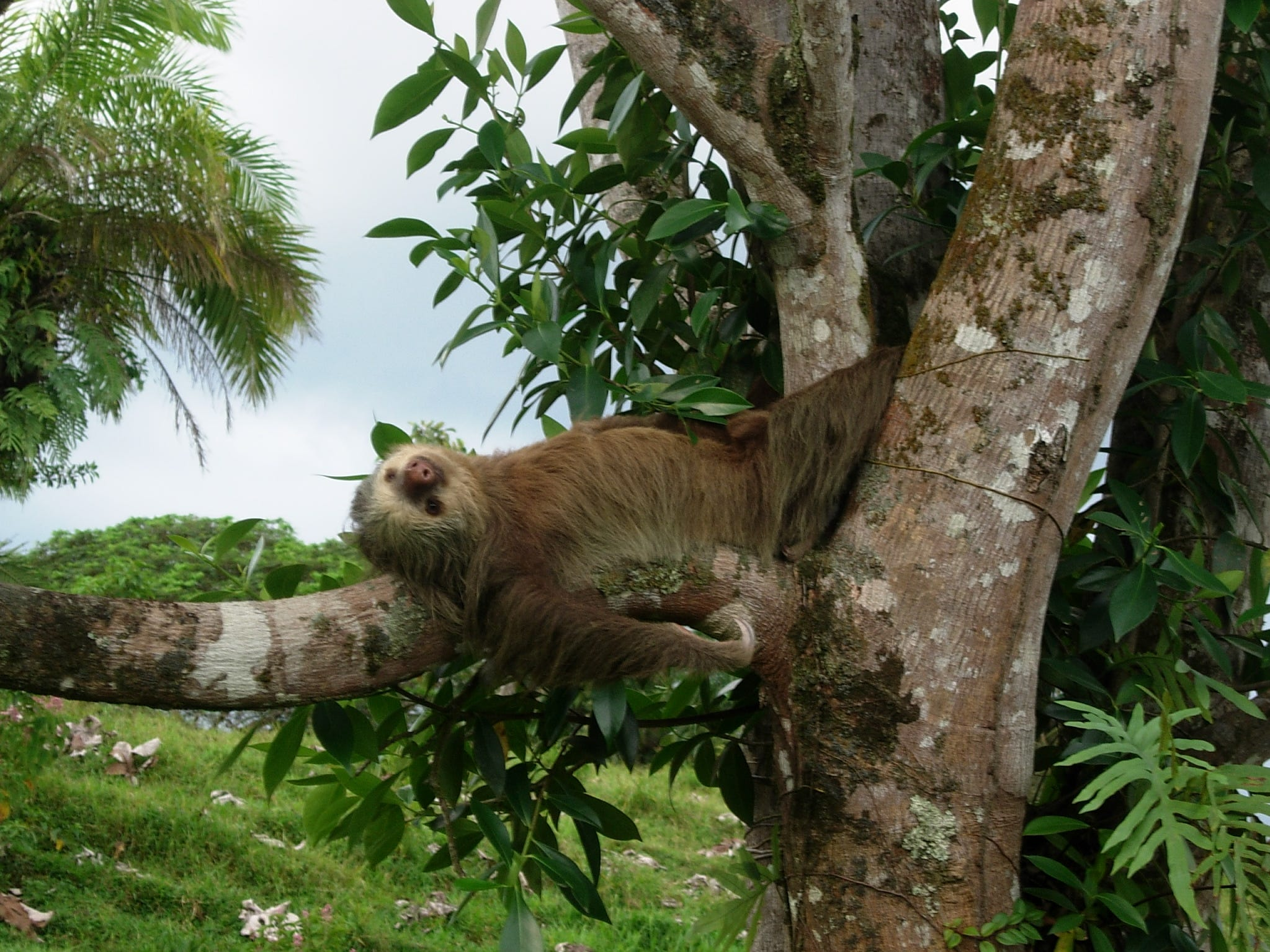 Costa Rica has nearly 250 species of mammals, including the two-toed sloth.