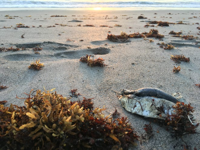 Only a scattering of dead fish remained on Cocoa Beach Saturday morning.