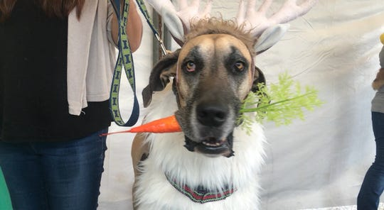 """Bruno the Great Dane dressed up as a reindeer from the Disney movie """"Frozen"""" at the seventh annual Bark in the Park in Corpus Christi Saturday, Oct. 20, 2018."""