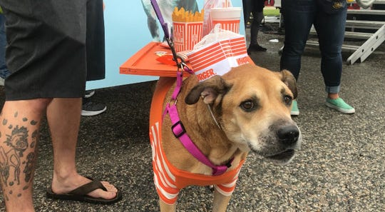 Sophie the Boxer dressed up as Whataburger employee at the seventh annual Bark in the Park in Corpus Christi Saturday, Oct. 20, 2018.