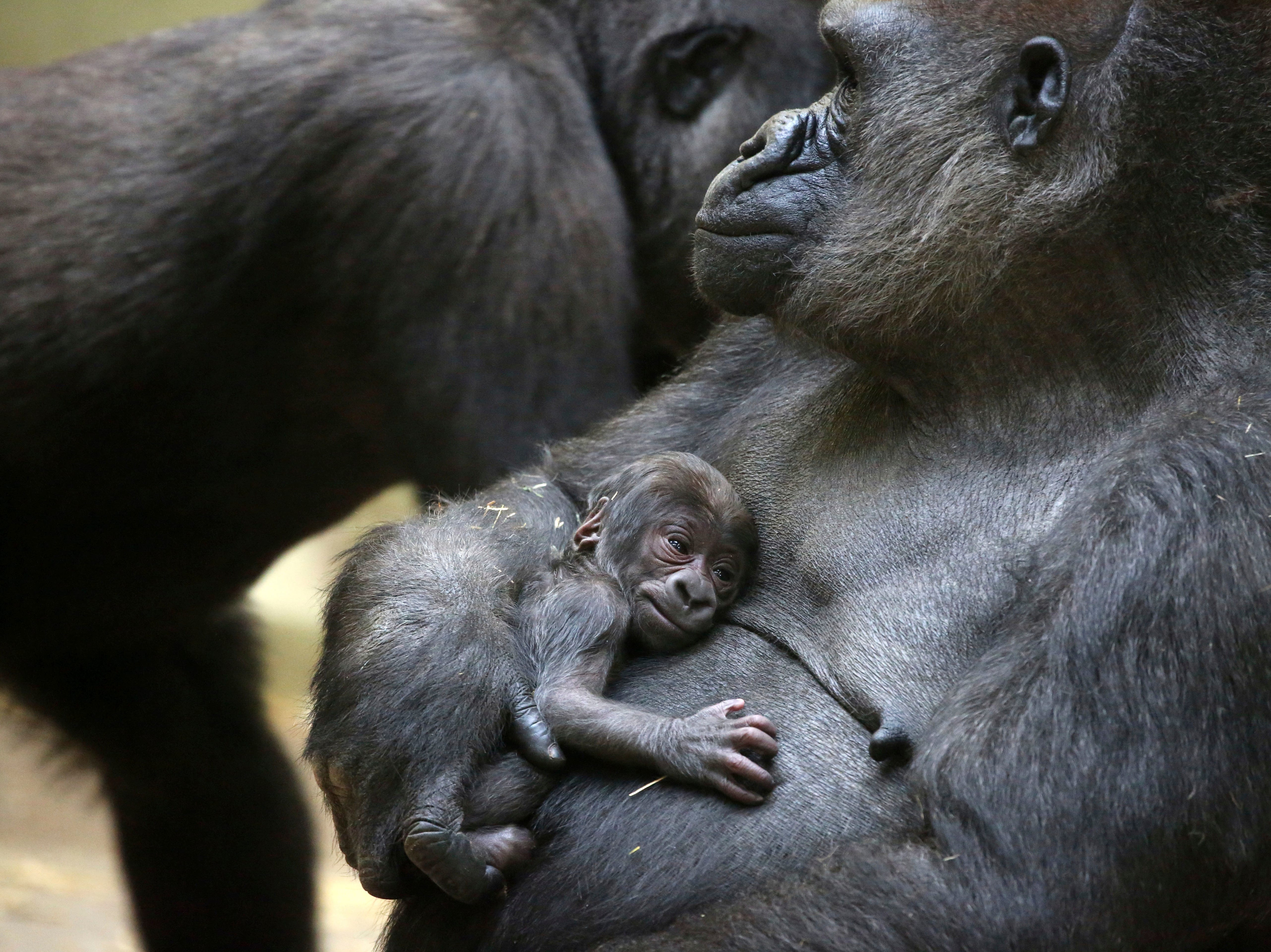 In this image released by Artis Zoo in Amsterdam on Friday Oct. 19, 2018, a western lowland gorilla mother holds her baby born the day before. The western lowland gorilla lives in central Africa.