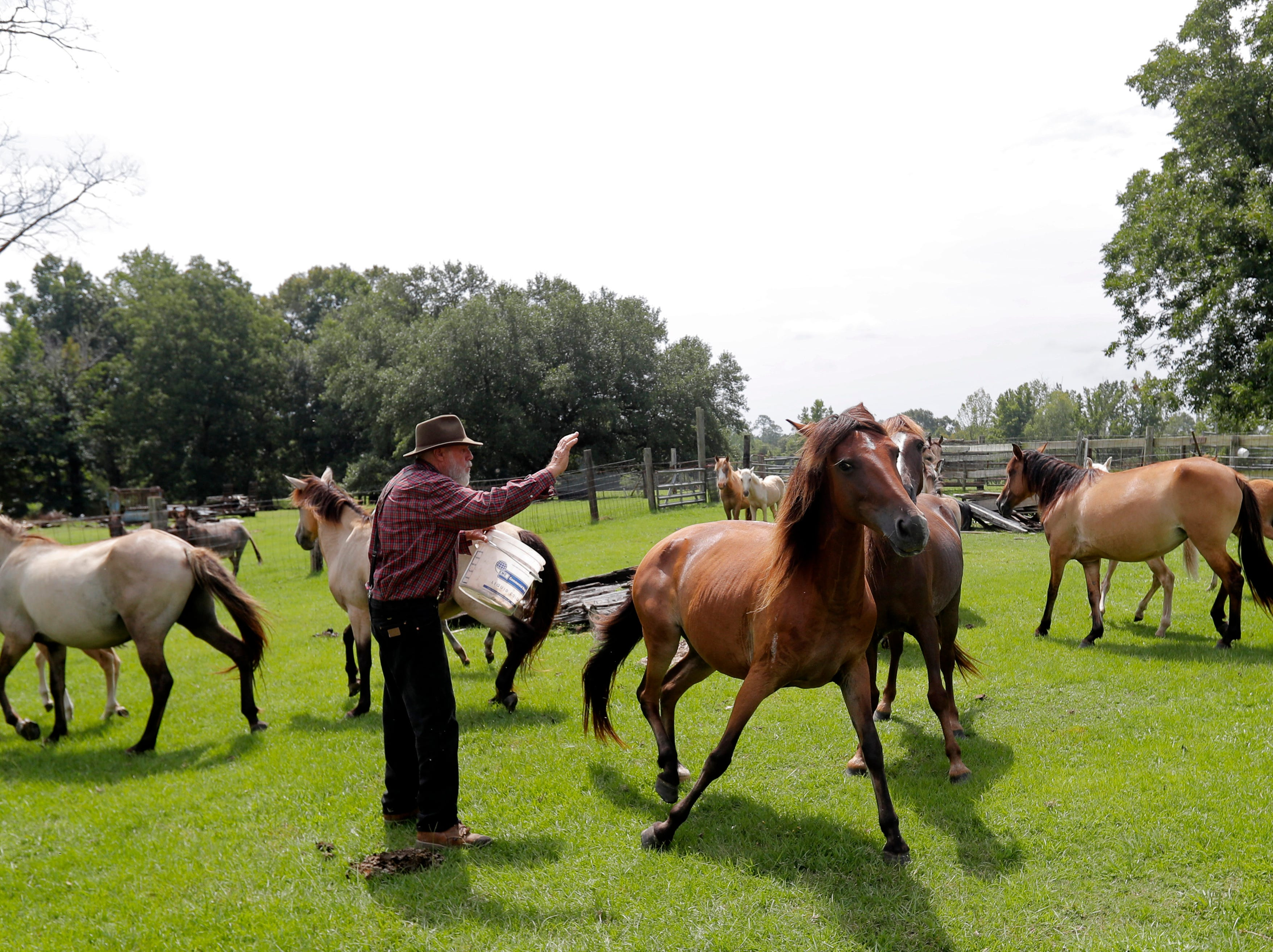 In this July 17, 2018, photo, Bill Frank Brown with Choctaw mares on his farm in Poplarville, Miss. The farm had been in Brown's family since 1881 and the livestock there, even longer. Brown had three stallions back then, including DeSoto. He called them pine tacky horses. The Texas A&M veterinary school tested samples of the stallions' DNA, and they matched those of Rickman's Choctaws. (AP Photo/Gerald Herbert)