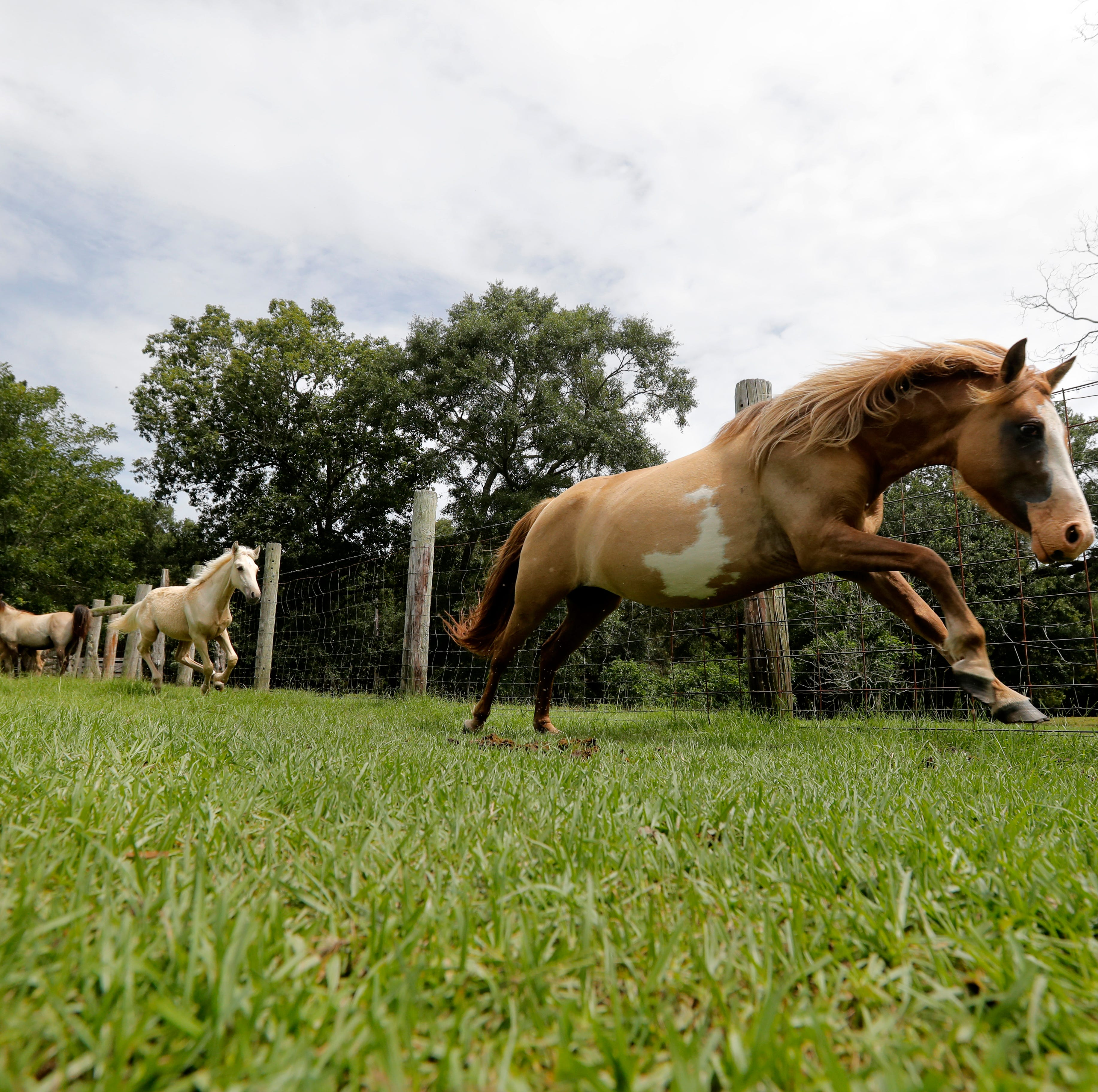 In this July 17, 2018, photo, a Choctaw mare runs on Bill Frank Brown's farm in Poplarville, Miss. An aging stallion found by accident on a Mississippi farm is bringing the first new blood in a century for a line of horses brought to America by Spanish conquistadors and bred by Choctaw Indians who were later forced out of their ancestral homelands. (AP Photo/Gerald Herbert)