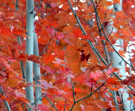 Chilly fall temperatures turned leaves red in spots throughout Ruidoso on deciduous trees wedged between pines.