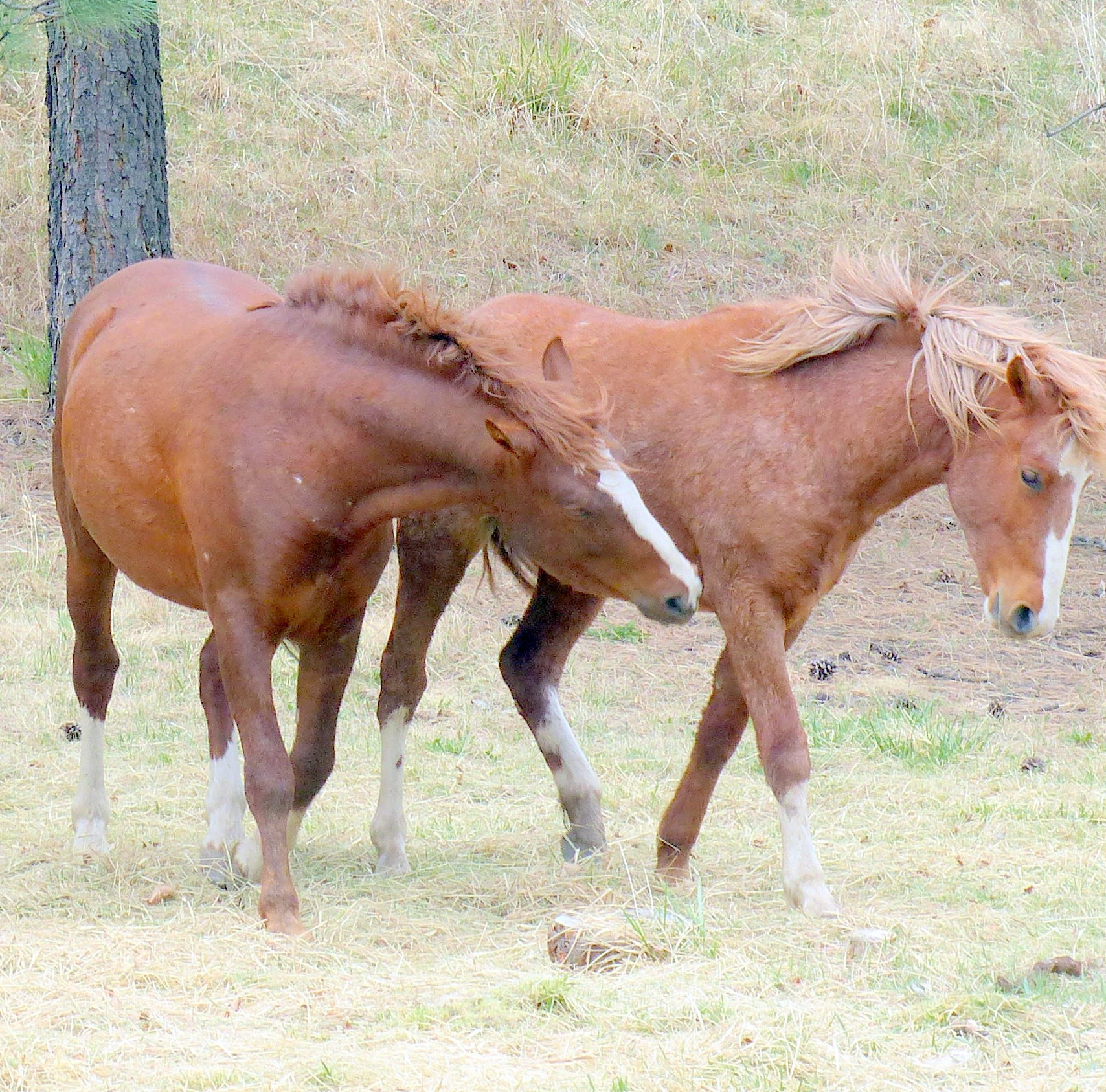 Judge rules wild horses to be returned to Alto
