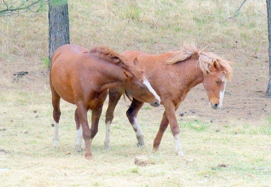Two Alto free-roaming horses who are members of another herd not picked up by the state in 2016.