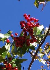 Red berries appear on trees, a temptation to hungry mule deer.