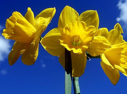 Daffodils are a great spring bulb for Texas because they naturalize and re-bloom yearly.