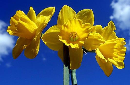 Daffodils Agrilife