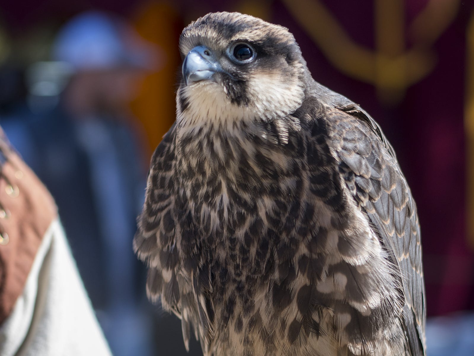 Gary Denzler holds a Lanner falcon during Romance Weekend at the Ohio Renaissance Festival Sunday, October 21, 2018 in Waynesville, Ohio. Lanner falcons were used by the squires of Medieval times for hunting and are closely related to the peregrine.