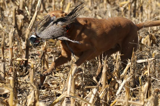 Hunting dog Ditka has a face full of pheasant after a retrieval in a cornfield during the Pheasant Opener on Saturday near Zell, SD.