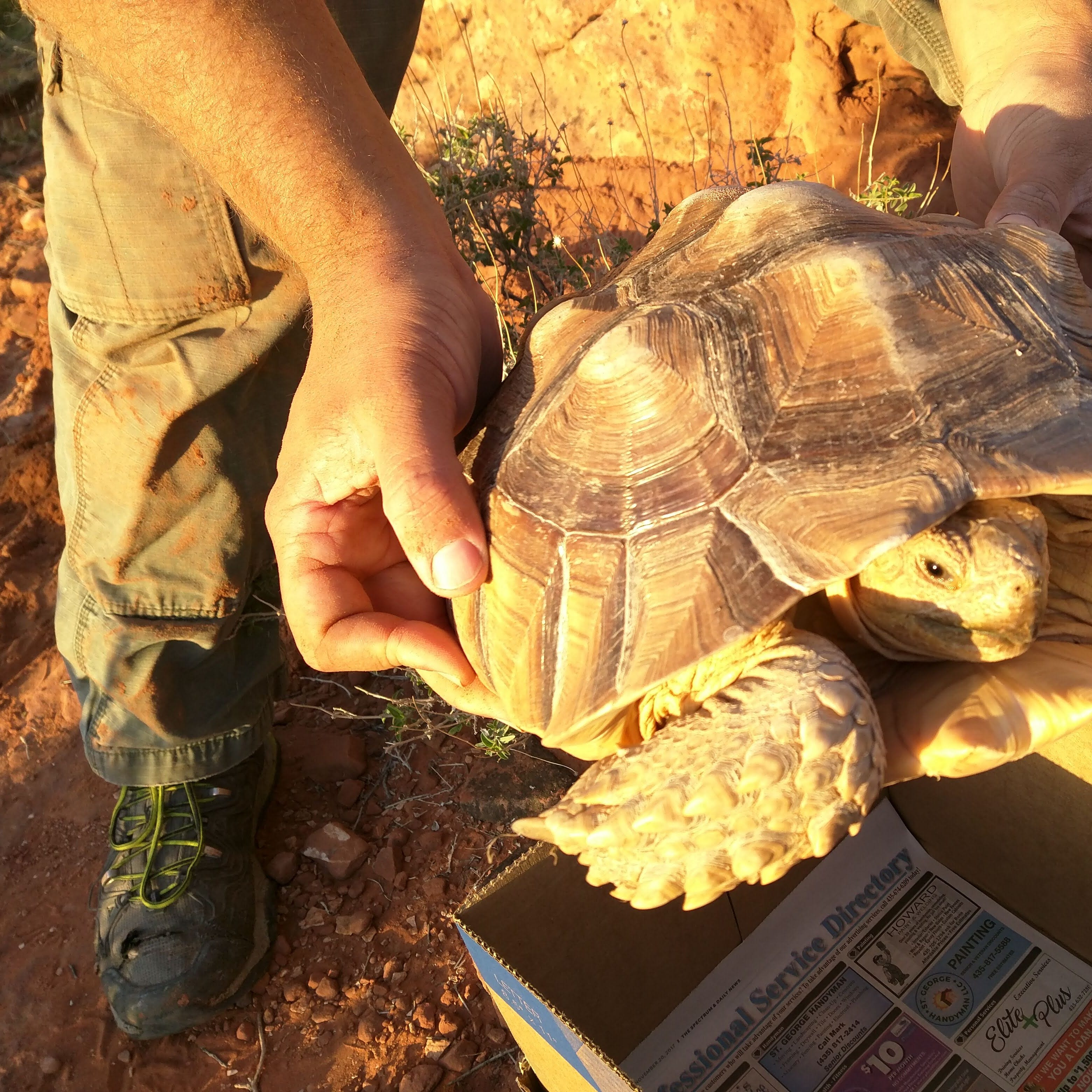 Wildlife officials find non-native tortoises in Red Cliffs Desert Reserve