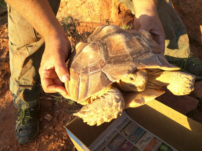 Two African spurred toirtoises (sulcata) were found inside the Red Cliffs last week. Wildlife officials were able to remove both animals safely, but warned that exotic species inside the reserve could pass diseases and harm the habitat of the native Mojave desert tortoise.