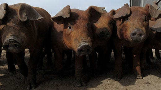 Consumers have rated pork products more tender even as market weights have been increasing.