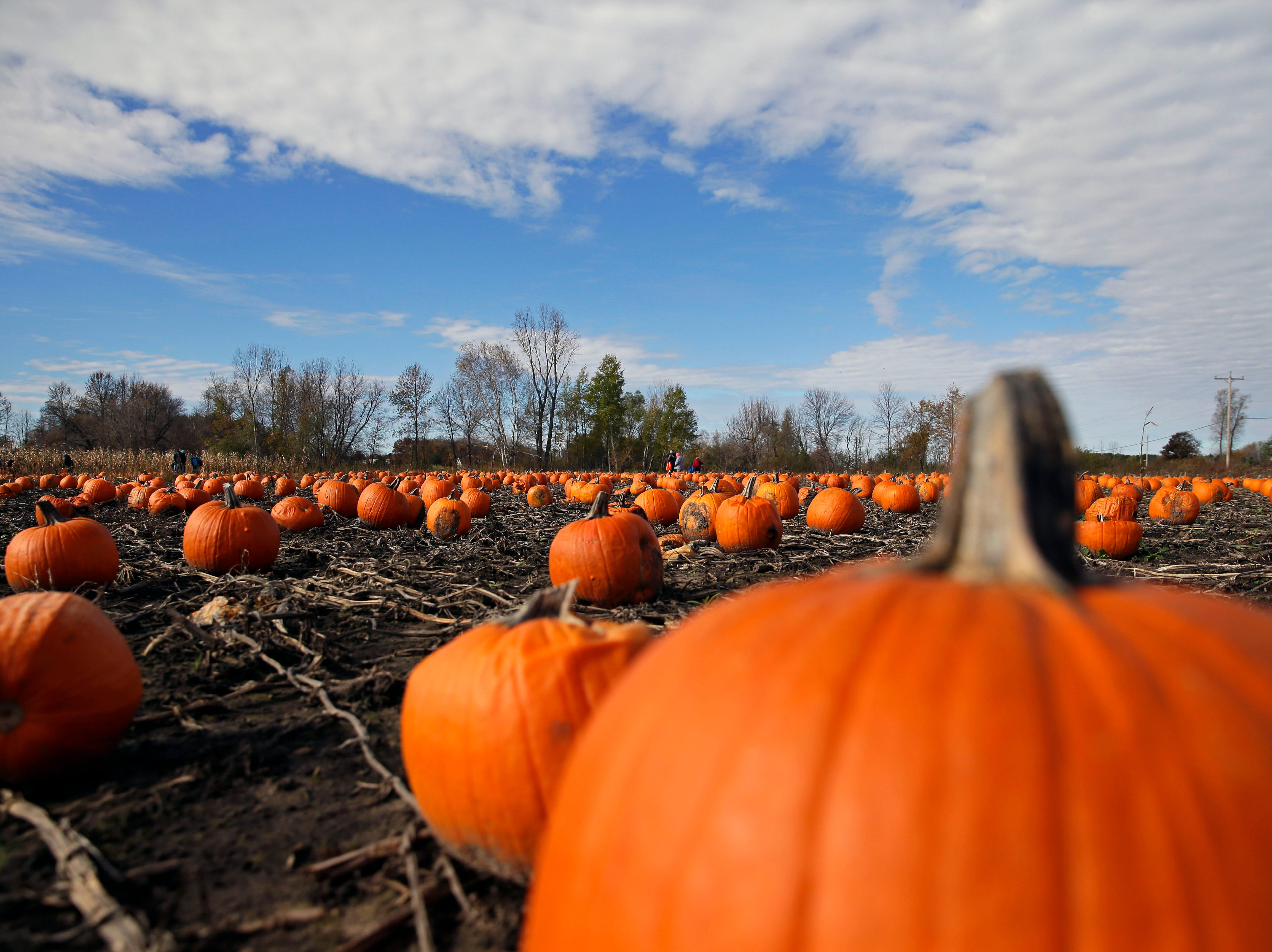 Picking pumpkins was on the agenda for many families Sunday, October 21, 2018, at Cuff Farms in Hortonville, Wis.