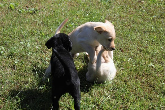 """A trio of puppies from Paws & Effect play in the grass at Christmount Assembly on Oct. 13. Theses puppies and various veteran organizations will participate in """"Black Mountain Salutes."""" The weekend-long celebration will include a parade on Sunday, Nov. 11."""