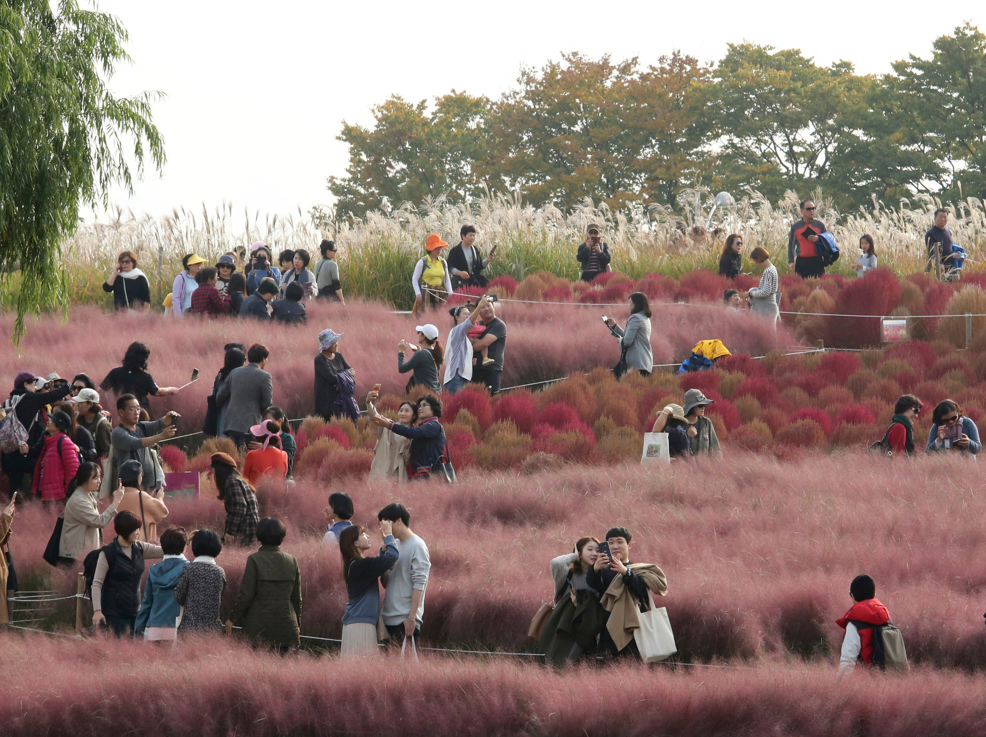 Visitors enjoy in pink muhly grass field at Sky Park in Seoul, South Korea, Monday, Oct. 22, 2018. Sky Park is a part of World Cup Park which was a Seoul's landfill and now is an ecological park built to commemorate the 2002 Korea Japan FIFA World Cup.