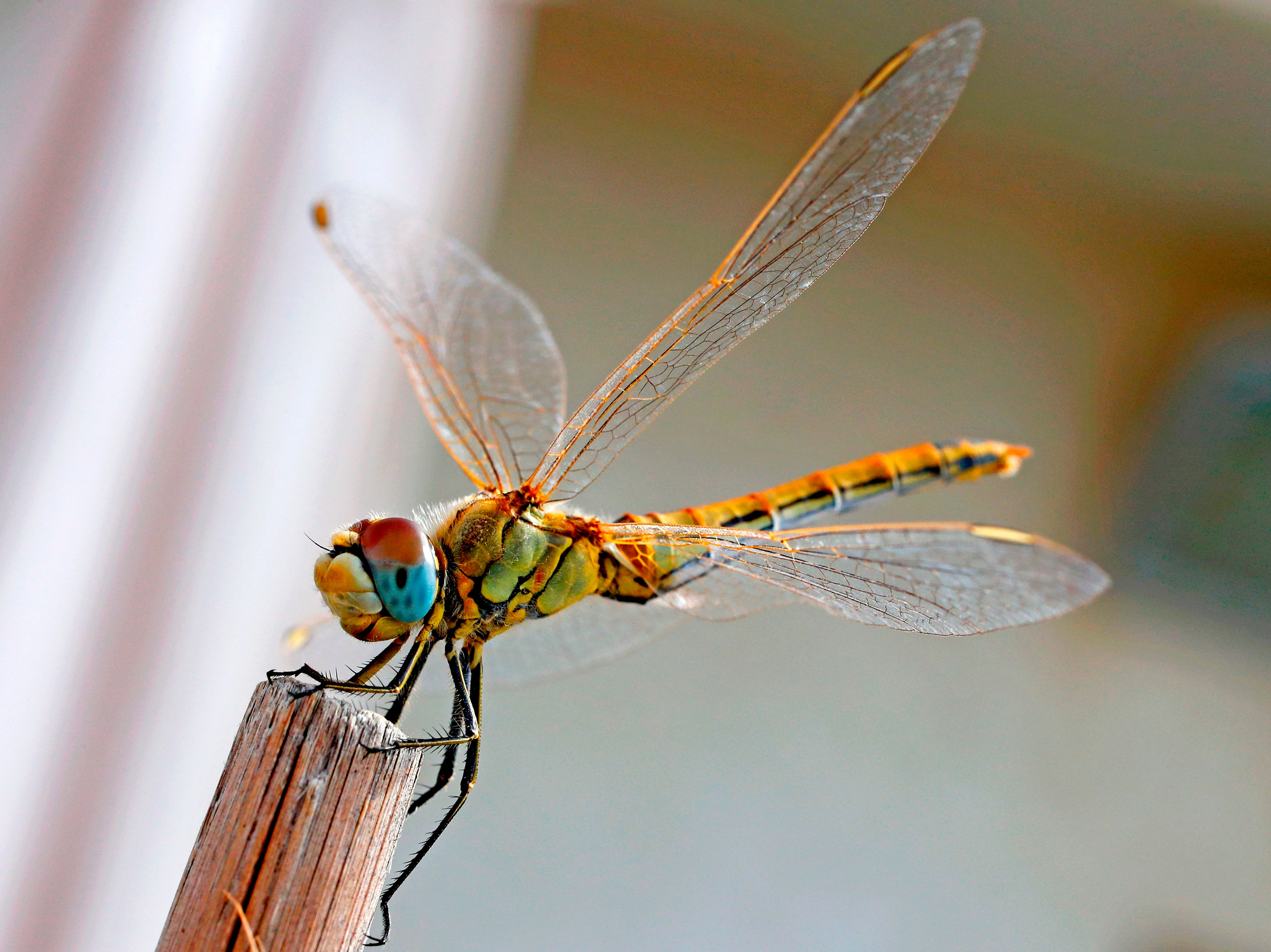 A Southern Darter dragonfly (Sympetrum Meridionale) is pictured on October 22, 2018 in the Israeli Mediterranean coastal city of Netanya.