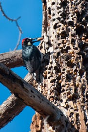 The Acorn Woodpecker is a know hoarder.