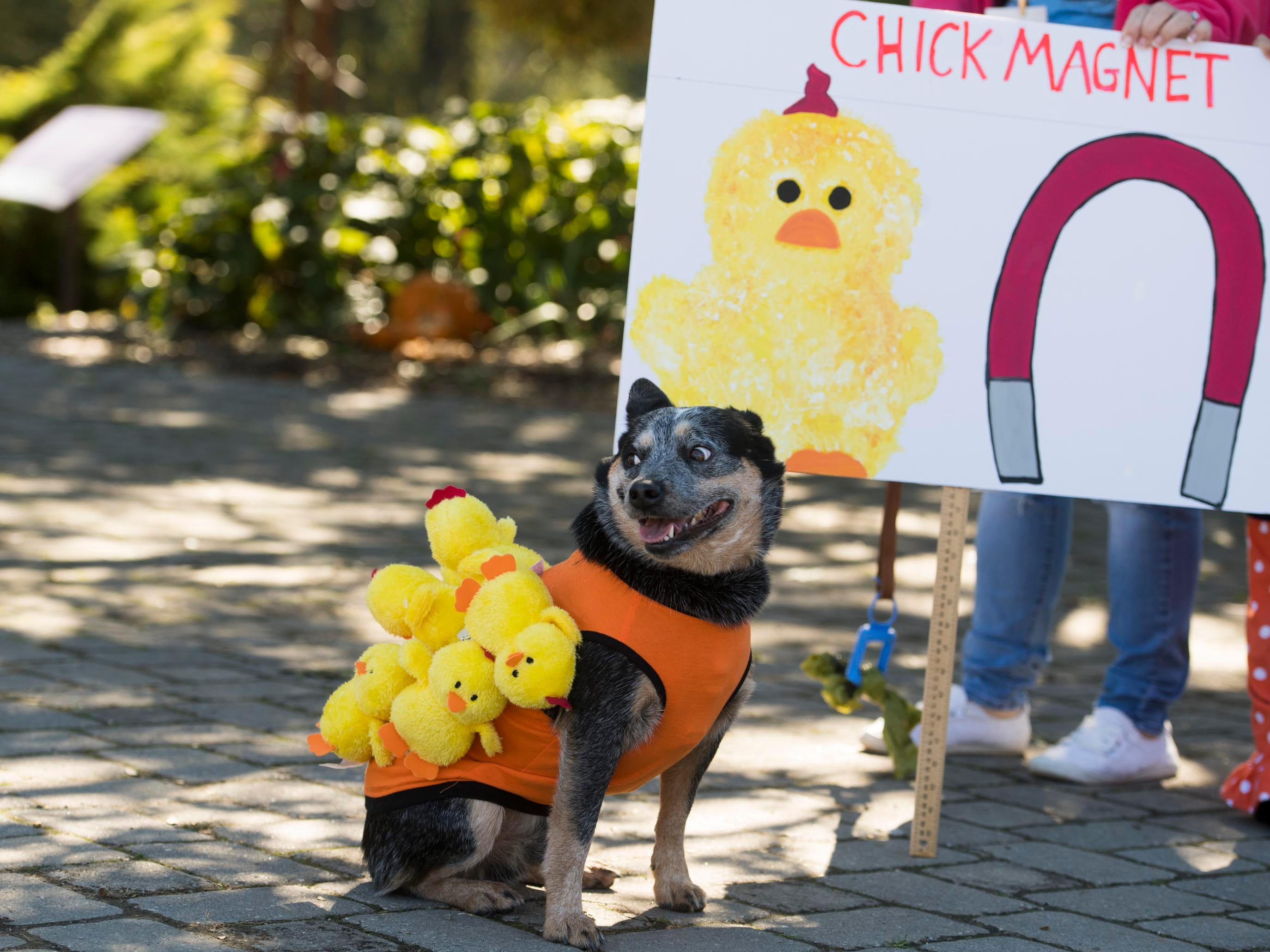 Christi Hinote brought Cash, a Blue Heeler dressed as a Chick Magnet to compete in the Howl-O-Ween Pooch Parade and Pet Expo at the UT Gardens on Sunday, October 21, 2018.