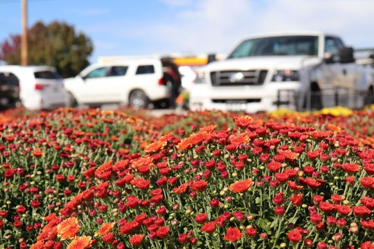 A chrysanthemum bush just begins to bloom as Fall sets in at Junction Plants and Produce in Lenoir City. While they are a popular choice for Fall gardening, they do not usually bloom through the Winter.