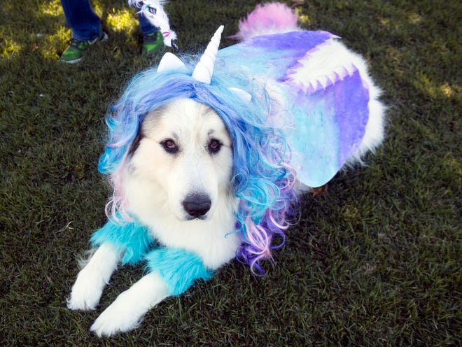 Rocco is a Great Pyrenees dressed as a My Little Pony unicorn for the Howl-O-Ween Pooch Parade and Pet Expo at the UT Gardens on Sunday, October 21, 2018.