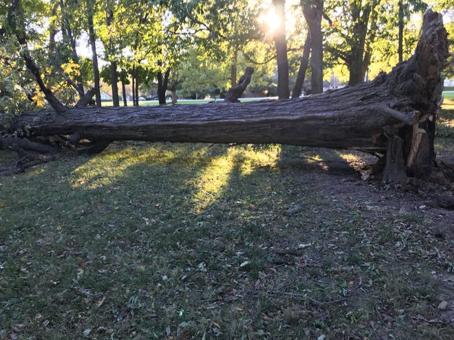Winds blew over this large oak tree on the south side of McCutcheon High School Saturday afternoon. The tree fell south. If it had fallen to the north, it would have destroyed a fence and damaged a homeowner's house.