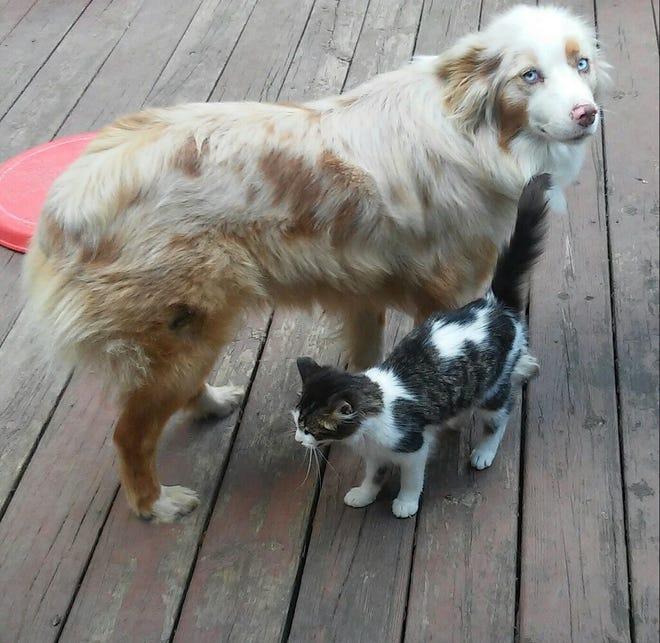 The family's Australian shepherd dog (Frisky) and the cat (Kitty) get along great.