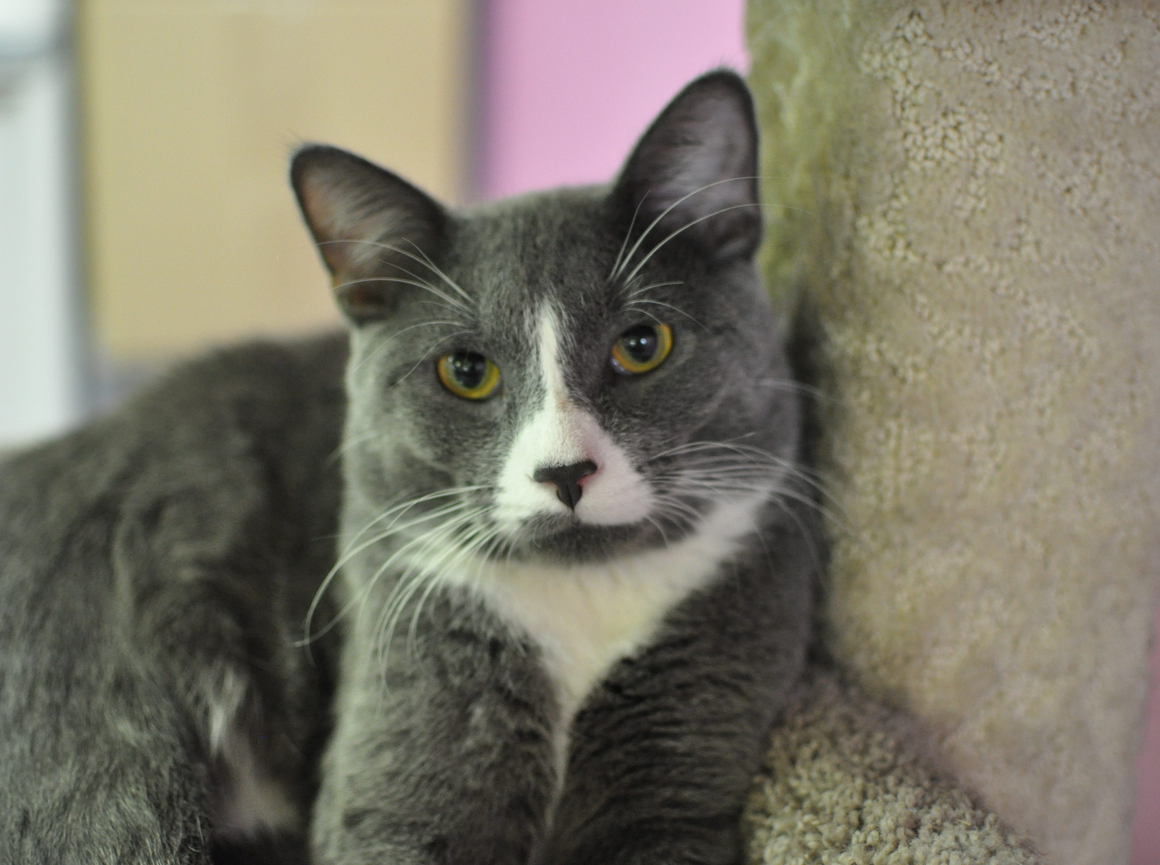 Tobasco, 5, loves to snuggle, be held and is very active. He is neutered.