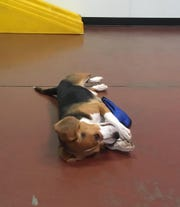 A female beagle found lost plays inside Blue Water Pet Care Monday.