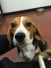 A small female beagle is being cared for inside Blue Water Pet Care in Kimball Township.