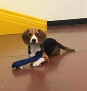 If the owner of a lost beagle isn't located, she may be up for adoption through a local rescue.