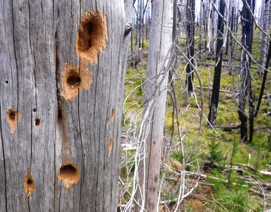 Woodpecker holes in new growth trees on Patjens Lakes Loop Trial, seven years after fire swept the area.