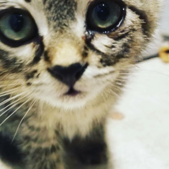 Sticky the kitten was rescued from the middle of Silverton Road NE on Friday, Oct. 19, 2018. She had glue on her paws and was stuck on the pavement.