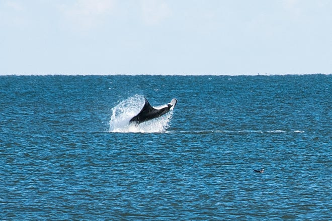 A manta ray was spotted swimming in the waters off the Maryland side of Assateague Island on Wednesday, Oct. 17, 2018.