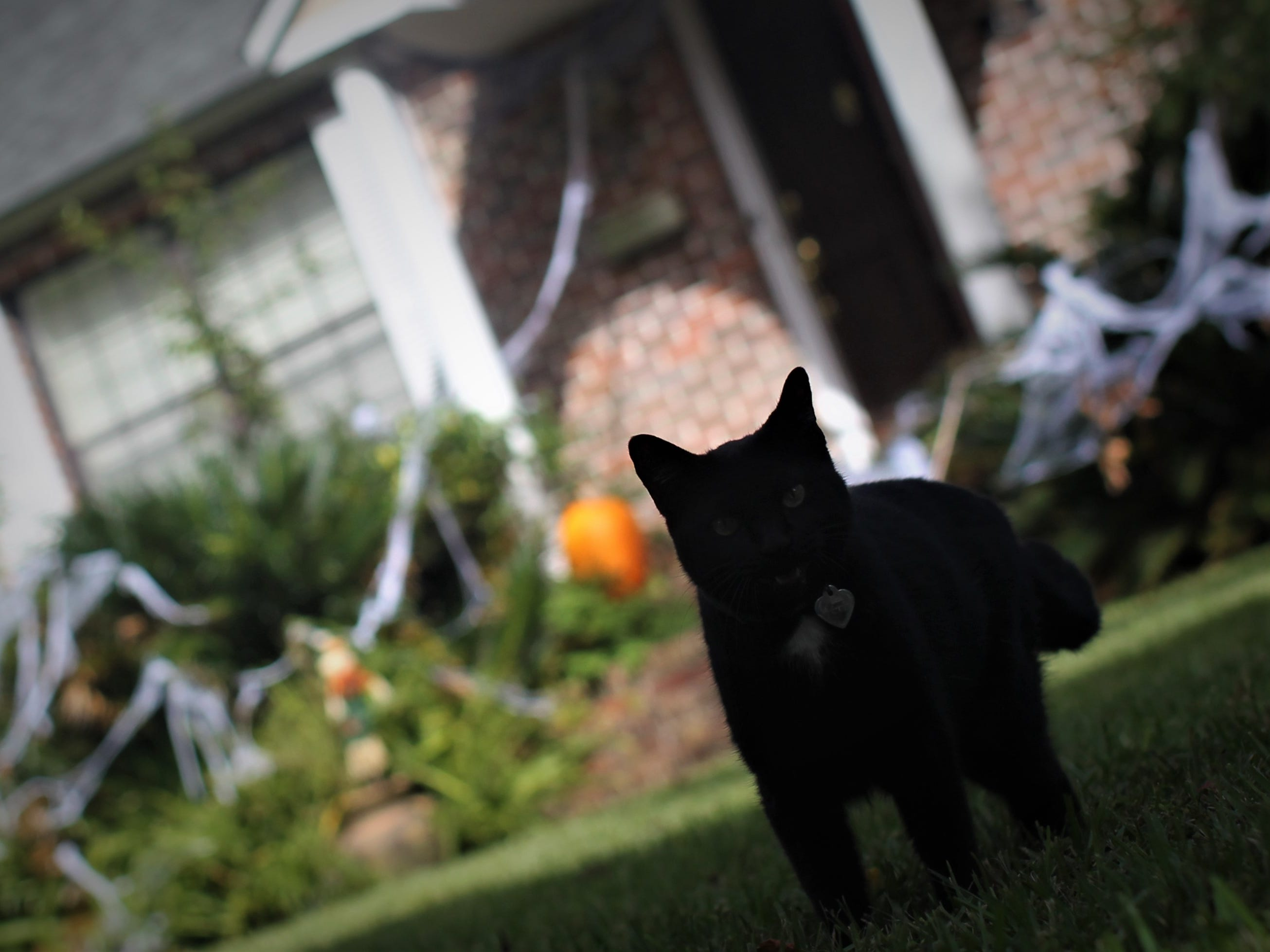 A black cat ventures out in the front yard of a Halloween-decorated house along Igleside Avenue. Tallahassee's Midtown neighborhood near Lafayette Park draws thousands of children for trick-or-treating.