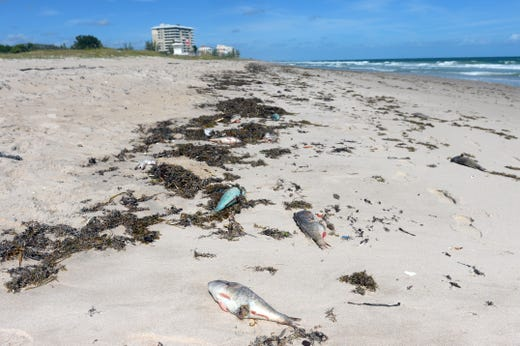 Dead fish scatter on the beach at Pepper Park Beach in St. Lucie County on Monday, October 22, 2018, due to Tide's red complications. All of St. Lucie County's beaches, including Fort Pierce Inlet State Park and Avalon Beach, are closed. St. Lucie County officials continue to collect water samples from eight different locations on Hutchinson Island twice a week and send them to the Florida Fish and Wildlife Conservation Commission for examination.