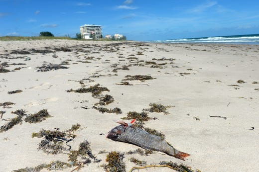 Dead fish lie on the beach at Pepper Park beach in St. Lucie County on Monday, October 22, 2018 because of complications from the red tide. All of St. Lucie County's beaches, including Fort Pierce Inlet State Park and Avalon Beach, are closed. St. Lucie County officials continue to collect water samples from eight different locations on Hutchinson Island twice a week and send them to the Florida Fish and Wildlife Conservation Commission for examination.