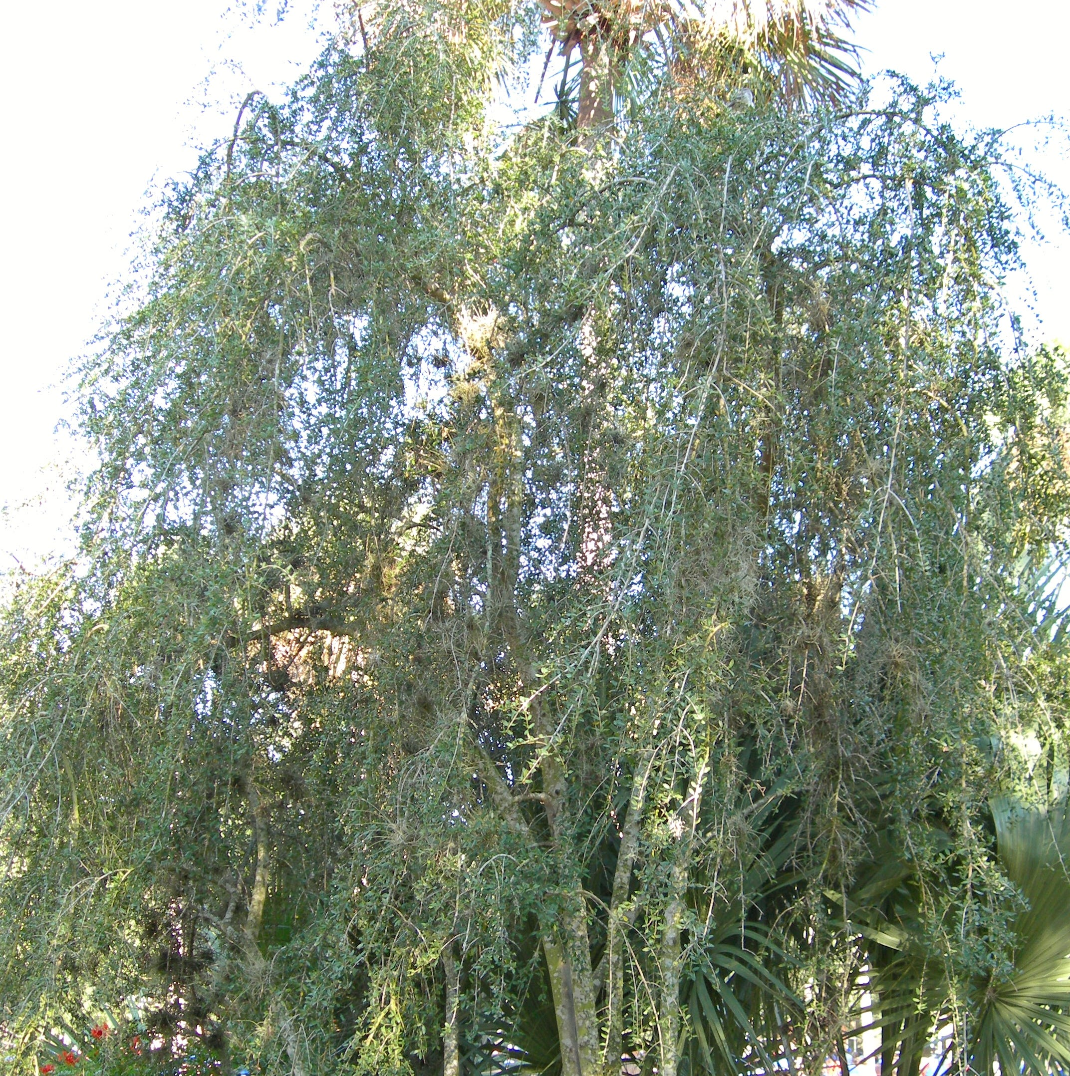 Weeping Yaupon great choice for Treasure Coast landscapes