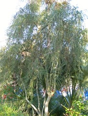 Weeping Yaupon also known as Ilex vomitoria f. pendula by scientists and horticulturists is a native tree with a distinctive growth pattern.