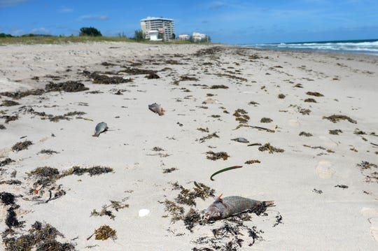Fish killed by red tide litter Pepper Park Beach in St. Lucie County on Monday, Oct. 22, 2018. The county hired a contractor to start cleaning beaches in the area beginning Wednesday.