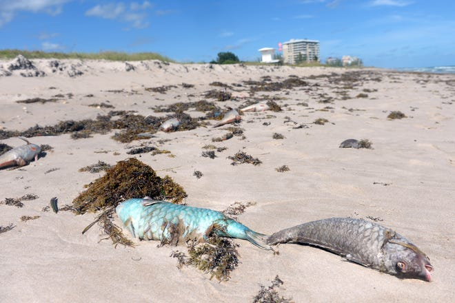 Dead fish litter the beach at Pepper Park Beach in St. Lucie County on Monday, Oct. 22, 2018 due to complications from red tide. All St. Lucie County beaches, including the Fort Pierce Inlet State Park and Avalon Beach, are closed. St. Lucie County officials continue to collect water samples twice a week from eight different locations on Hutchinson Island, sending them to the Florida Fish and Wildlife Conservation Commission for testing.