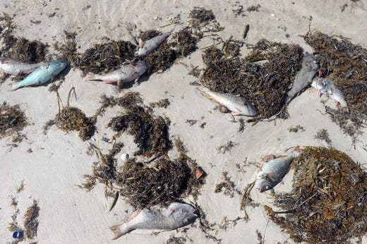 Dead fish lie on the beach at Pepper Park beach in St. Lucie County on Monday, October 22, 2018 due to complications from the red tide. All of St. Lucie County's beaches, including Fort Pierce Inlet State Park and Avalon Beach, are closed. St. Lucie County officials continue to collect water samples from eight different locations on Hutchinson Island twice a week and send them to the Florida Fish and Wildlife Conservation Commission for examination.