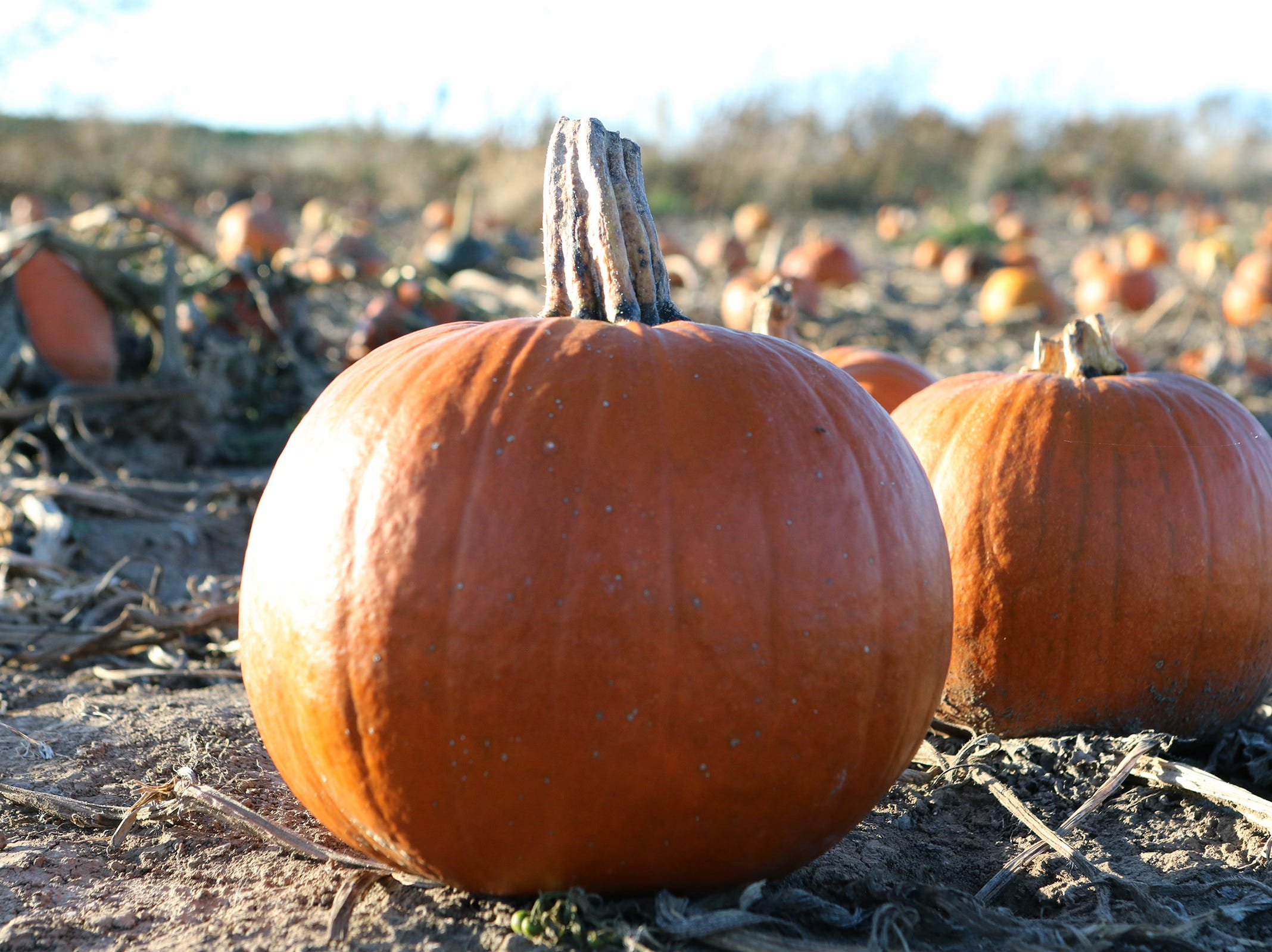 Pumpkins waiting for picking dot a field at Schuett Farms in Mukwonago on Oct. 22.