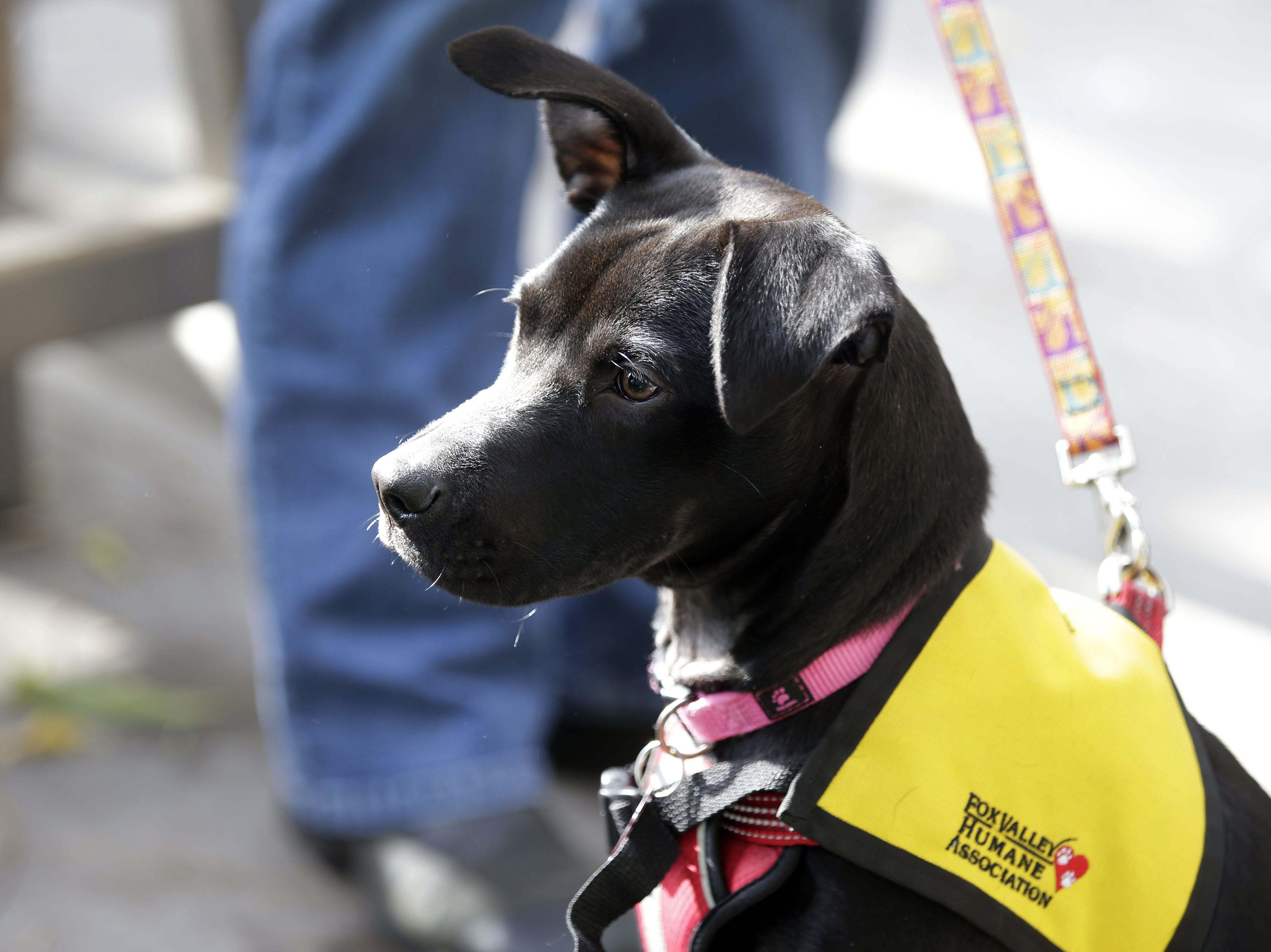Agatha keeps an eye on other dogs during Dogtoberfest.  The event, a collaboration between Fox River House and the Fox Valley Humane Association, was Oct. 20.