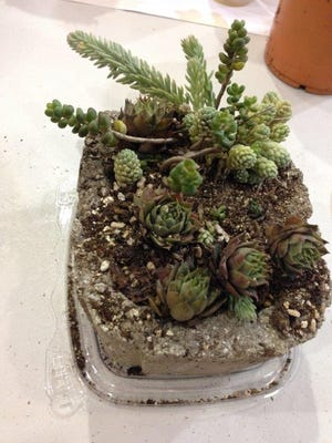 """This may be the smallest hypertufa container ever cast. It is 4 incheslong and 3.5 inches wide. This one accommodated cold hardy succulents sedums """"Blue Spruce,""""""""Coral Carpet""""and a dasphylum major, a Corsican stonecrop."""