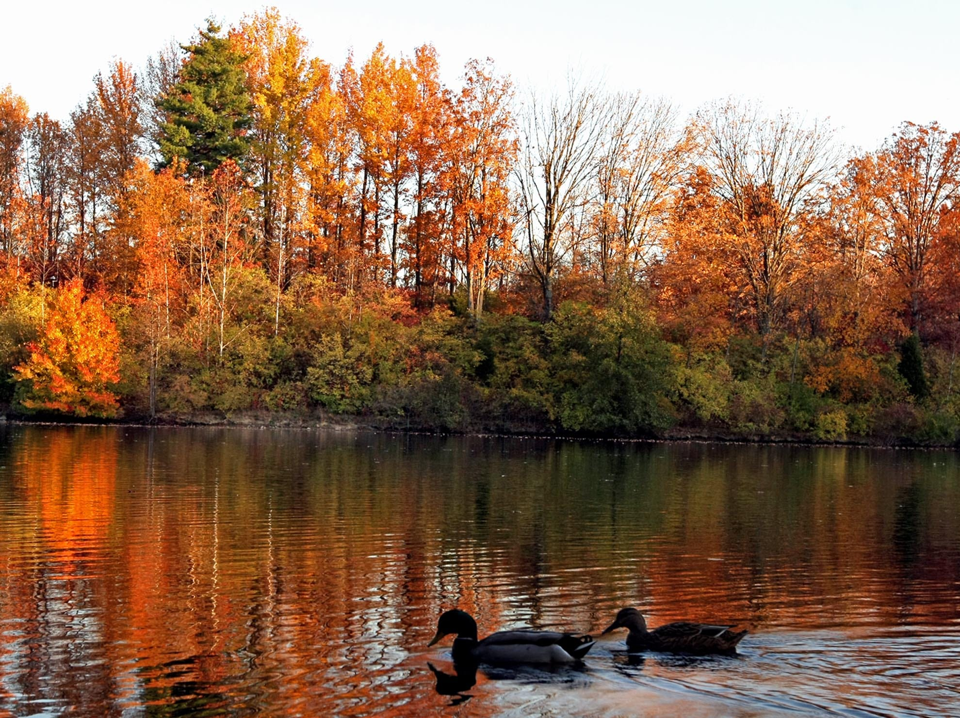 Ducks move along in Sharon Woods park lake in Sharonville in November 2008 as the sun lights up the fall colors along its bank.