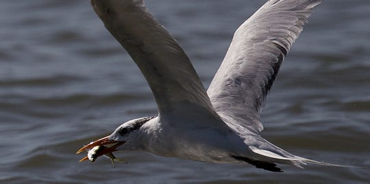 a tern picks up a meal off the beach on Sanibel Island on Tuesday 10/23/2018,  Red tide has abated throughout Southwest Florida.