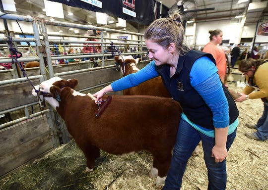 Alyssa DuVal, of Silverton, Ore., brushes Mae in preparation for the miniature Hereford show at the NILE in Billings. The animals come from Texas where in the 1970s a rancher began pairing up his shorter livestock to create more compact cows. Minis are just smaller in stature. They're not dwarves. On average a mature mini weighs about 450 pounds.
